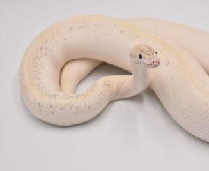 Spirit the fire ivory ball python