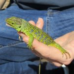 The Ocellated Lizard (Timon lepidus)