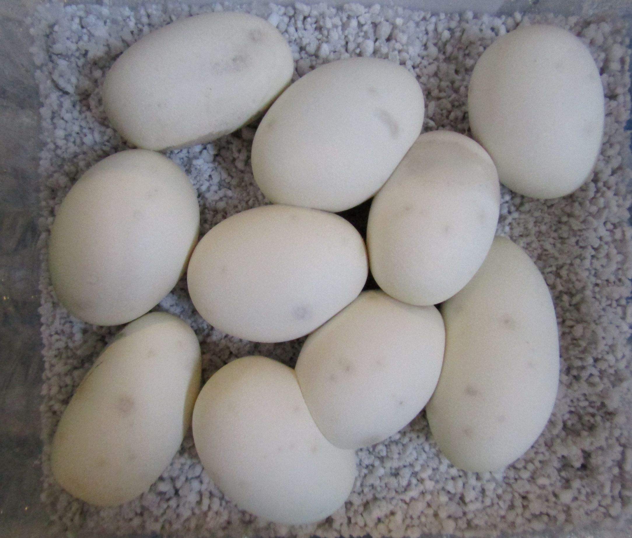 How many eggs do Ball Pythons lay?