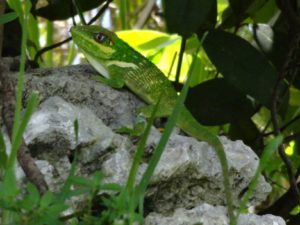 Knight Anole (Anolis equestris) on the ground