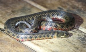Convergent Evolution in Snakes and Lizards