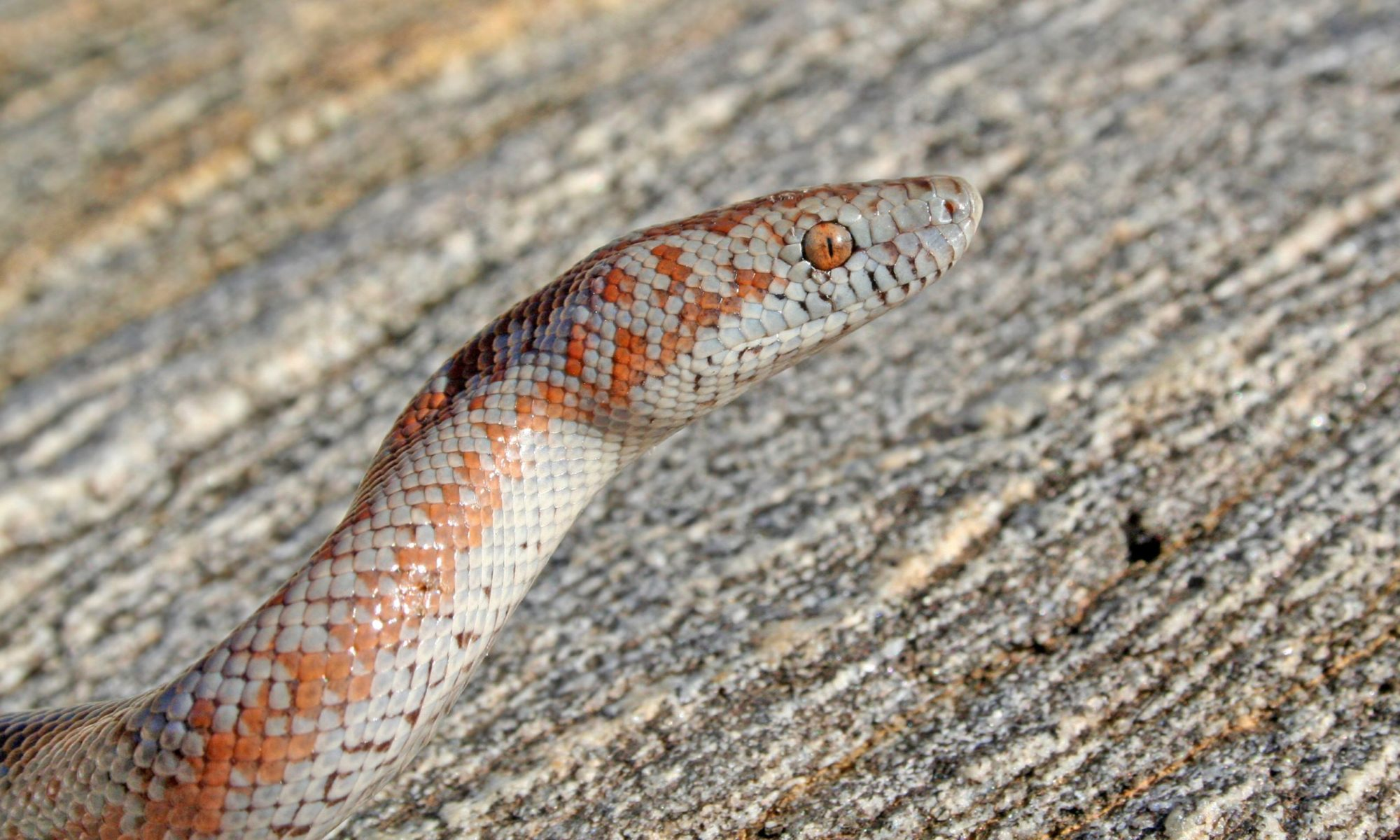 Rosy Boa Care Sheet
