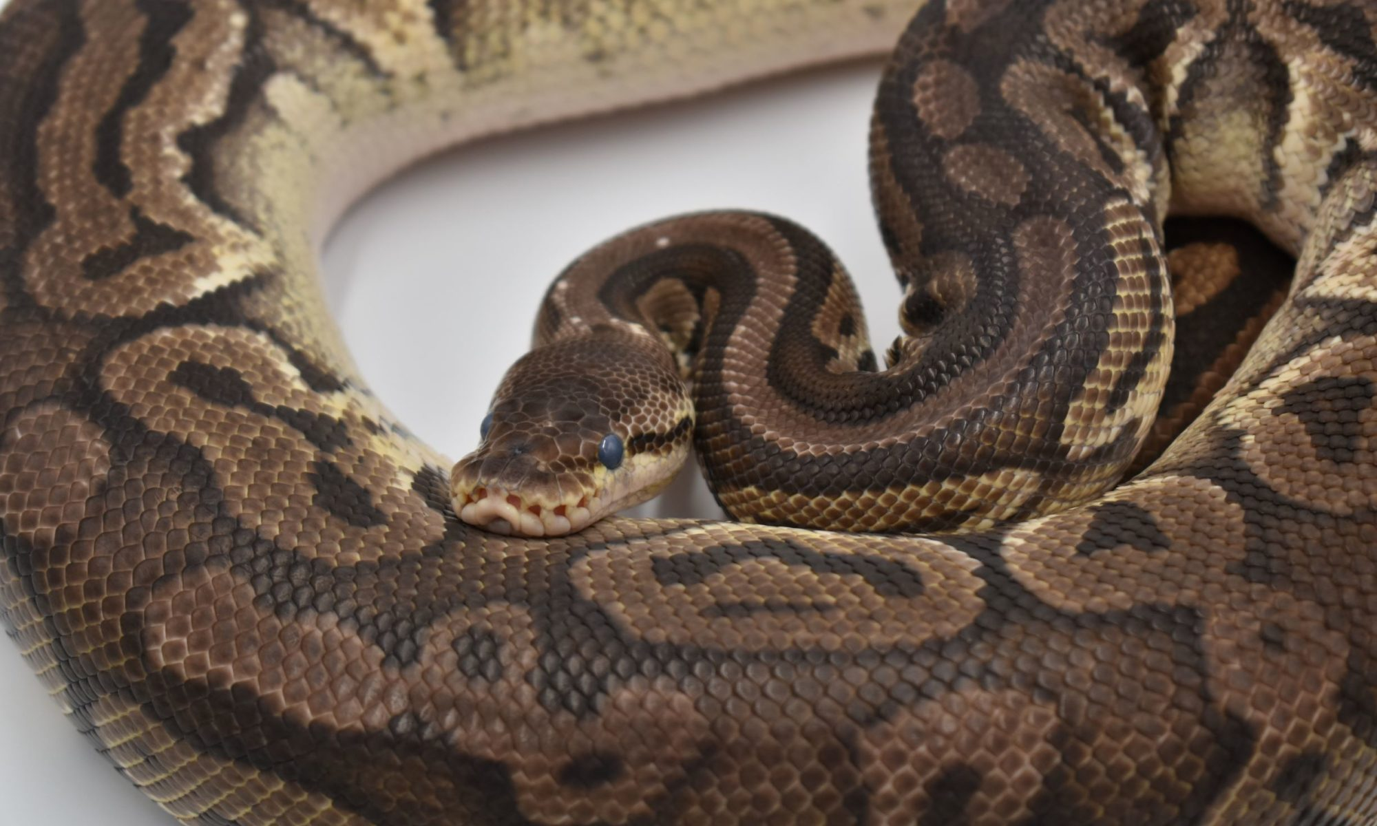Ball Python Humidity and Shedding