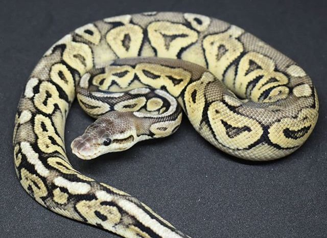 Do Ball Pythons Need Vitamin Supplements?