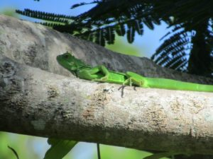 Young Green Iguana in a tree