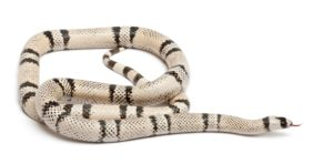Ghost (hypo and anerythristic) Honduran Milk Snake