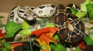 A Common Boa making use of a branch for a perch.